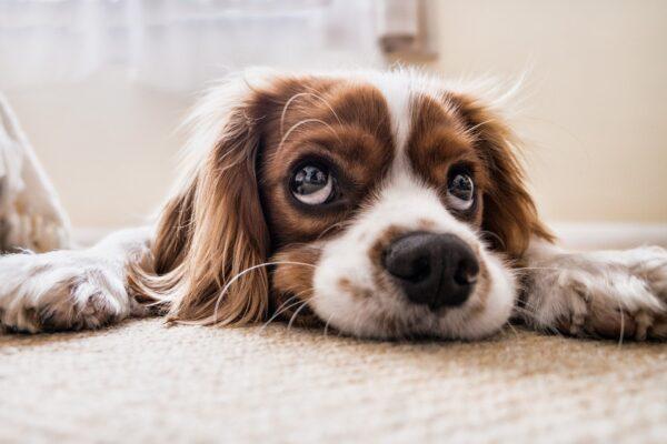 hund på græs
